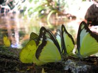 national park butterflies Cambodia