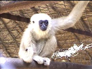 adventure cambodia travel: gibbon